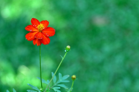 red cosmos flowers with dewdrop photo
