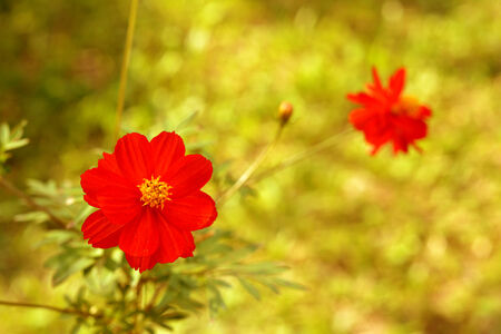 red cosmos flowers on yellow photo