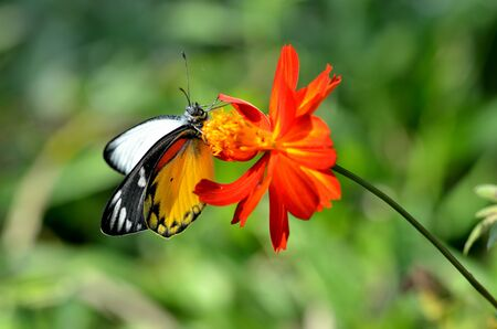 colorful butterfly on red cosmos flowers in the garden photo