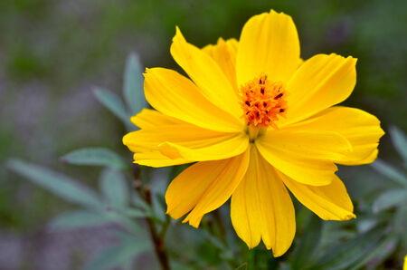 close up of golden cosmos flowers  photo