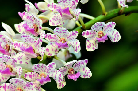 beautiful thai orchid, Rhynchostylis gigantea photo