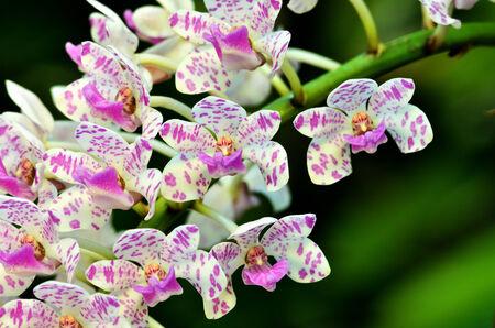 gigantea: beautiful thai orchid, Rhynchostylis gigantea Stock Photo
