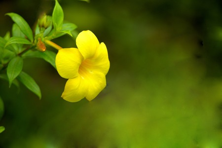 beautiful  golden trumpet flower on blur background photo