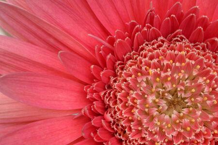 barberton daisy: close up of  pink gerbera flower
