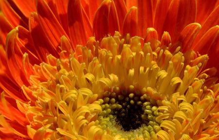 barberton daisy: close up of  orange gerbera flower