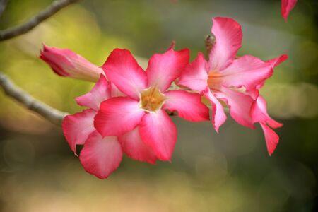 desert rose: desert rose flowers in sunny day