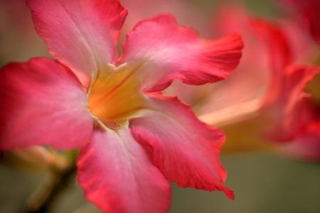 desert rose: Closeup of desert rose flowers