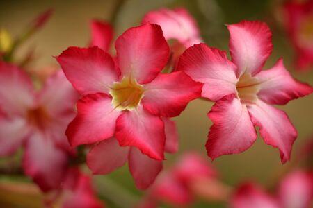desert rose: selective focusing of desert rose custer Stock Photo