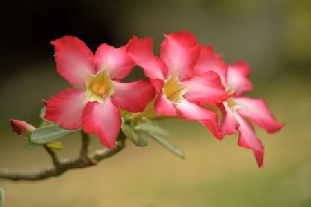 Beautiful desert rose flowers on greenfield  background photo