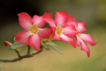 Beautiful desert rose flowers on greenfield  background photo
