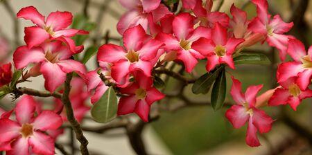 rose of the desert: Deserto rosa fiori su un albero Archivio Fotografico