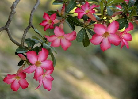 desert rose flowers on tree photo