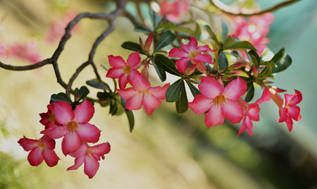 desert rose flowers  on tree with  reflection background photo
