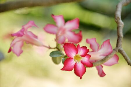 desert rose flowers in sunny background photo