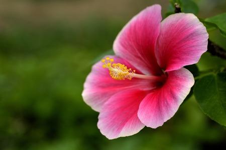 china rose: Close up of beautiful red-pink China rose  flower