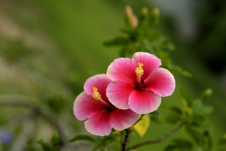 china rose: A pair of beautiful red-pink china rose  flower in sun light