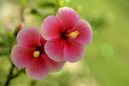 china rose: Soft focus of beautiful red-pink china rose  flowers  in sunny day