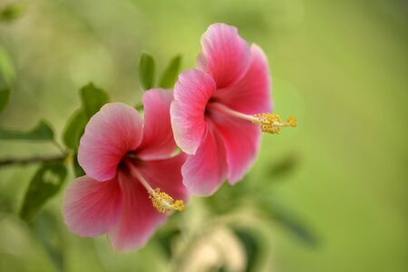 china rose: Beautiful couple red-pink china rose  flowers  in strong sunlight Stock Photo