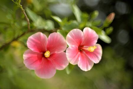 china rose: Soft focus of beautiful red-pink china rose  flower in the garden Stock Photo