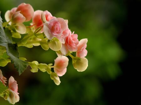 pink wall paper: selective focusing of an inclined bouquet of pink begonia flowers in sunny day Stock Photo