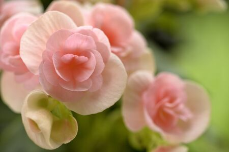 pink wall paper: selective focusing of a  beautiful pink begonia flower Stock Photo