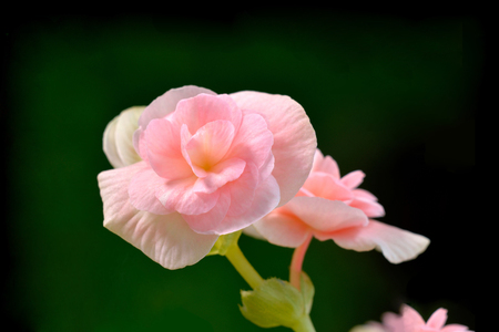 pink wall paper: close up of a  beautiful pink begonia flowers Stock Photo
