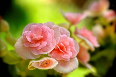pink wall paper: close up of a  beautiful pink begonia flowers in the garden