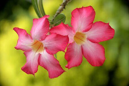 desert rose: beautiful desert rose flowers in sunny day
