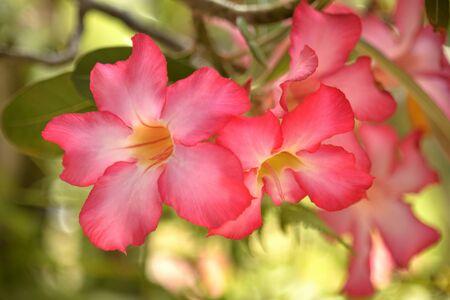desert rose: desert rose flowers on strong sun-light background