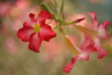 selective focusing  of desert rose flowers