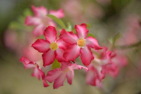 selective focusing  of desert rose flowers on tree