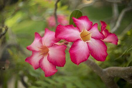 desert rose flowers on blur background