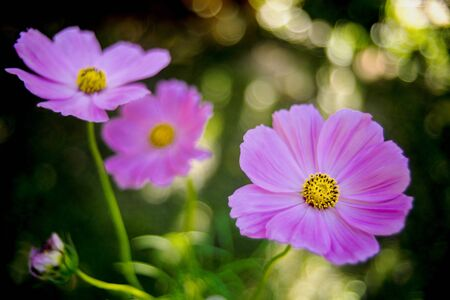 beautiful pink cosmos flowers on  tree Stock Photo