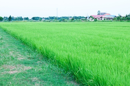 Green rice fields in Thailand