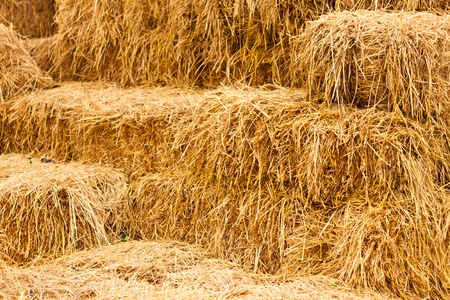 Rice straw as cattle feed  photo