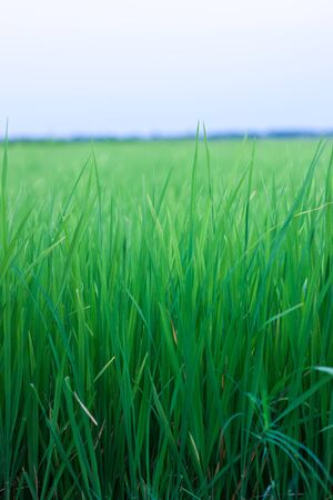 In the rice fields