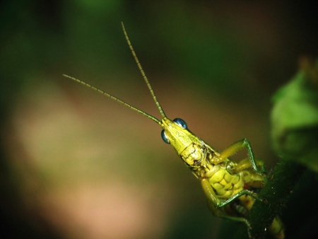 peep: Grasshoppers are peep out of the face Stock Photo