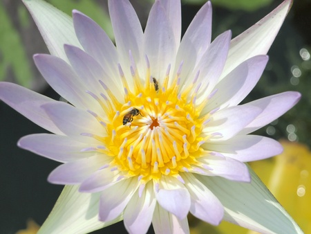 Bee in the lotus photo