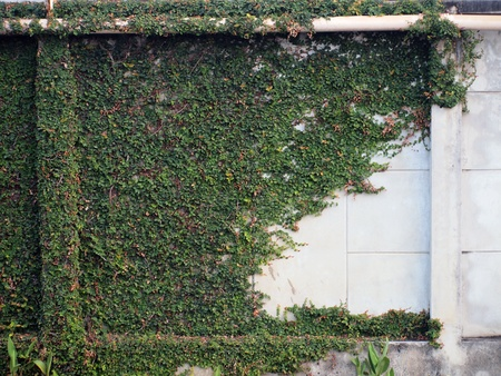 Walls covered with vines photo