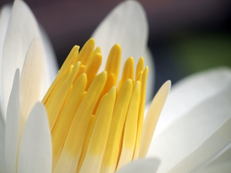 Macro Lotus flower  photo