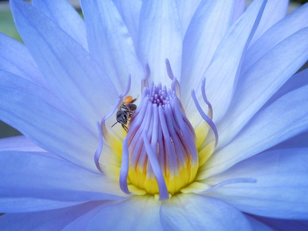 Close up of Lotus with little bee  photo
