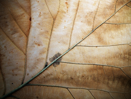 Dried leaf; fine details and very high-res for backgronds