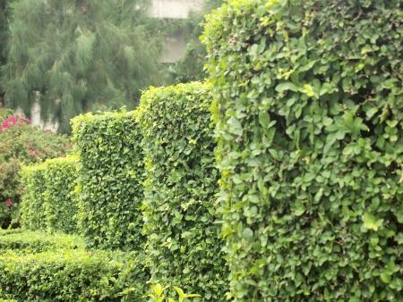 Arbustos Para Vallas Arbustos Para Vallas Para Valla Vegetativa - Arbustos-para-vallas
