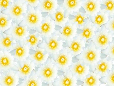 many white lotus flowers photo
