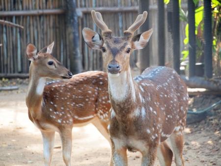 Young Fallow Deer  photo