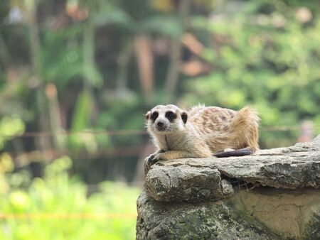 Photograph of a Meerkat at a zoo, sitting high on his favorite lookout, nicely staring at the photographer on a summer day photo