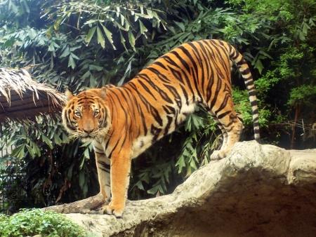 animales de la selva: Tigre de Bengala real
