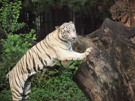 White tiger action in the zoo photo