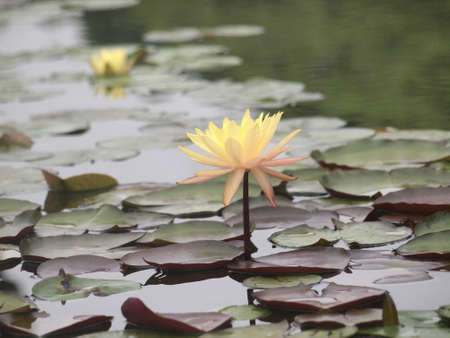 budding and blossom yellow waterlily photo