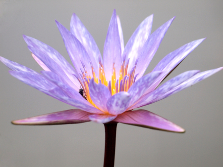 Close up of pink water lily Stock Photo